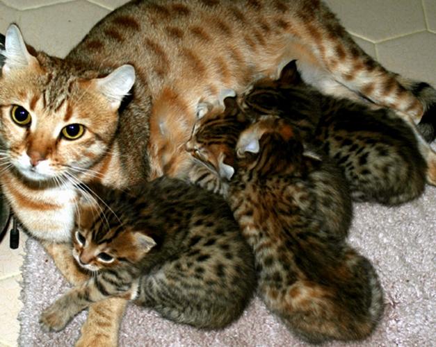 Как открыть питомник кошек